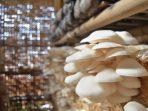 Manfaat Jamur Tiram yang Dibudidayakan Rutan Enrekang