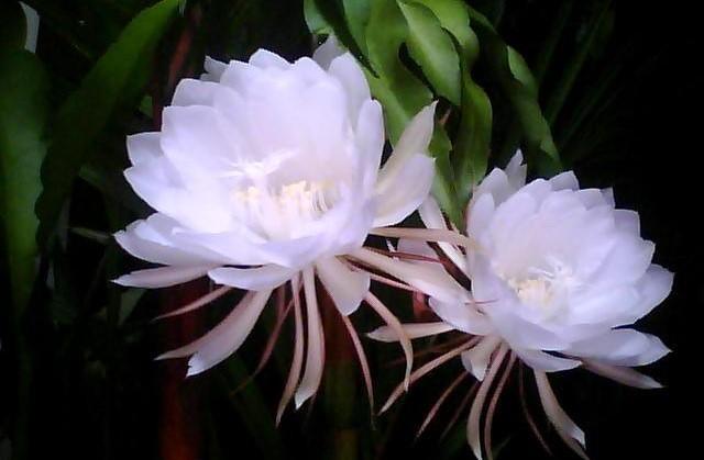 Mekar Hanya Sesaat Luangkan Waktu Menikmati Keindahan 5 Bunga Ini