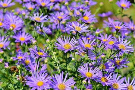 aster ungu