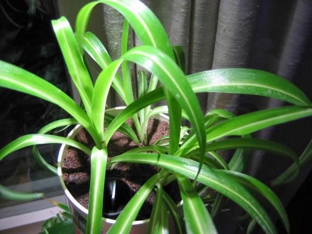 Chlorophytum comosum mandaianum