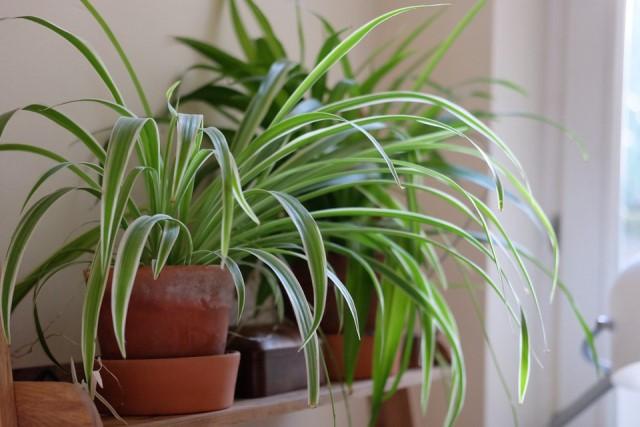 Lili Paris, Tanaman Hias Indoor yang Ampuh sebagai Pembersih Udara
