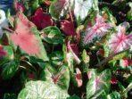 Araceae, Tumbuhan Potensial yang Terancam Degradasi Hutan