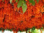 Berbunga Indah, 7 Tanaman Rambat Ini Jadi Pilihan untuk Dekorasi Rumah
