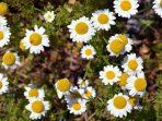 Bunga Chamomile, Antibakteri dan Kaya Manfaat untuk Kecantikan