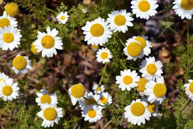 Bunga Chamomile Antibakteri Dan Kaya Manfaat Untuk Kecantikan