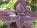 Bunga Iler, Tanaman Hias Berfungsi Herbal dan Cara Merawatnya