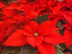 Bunga Kastuba, Tanaman Merah Cerah, Manfaat dan Cara Merawatnya