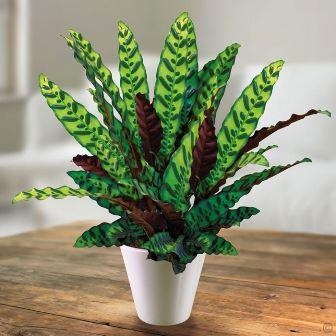 Calathea lancetolistna/bunga kalatea