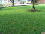 Cara Simpel Menanam Rumput Gajah Mini sebagai Karpet Alami di Halaman Rumah