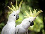 Cerita Kembalinya 47 Ekor Kakak Tua Jambul Kuning ke Habitatnya di NTT