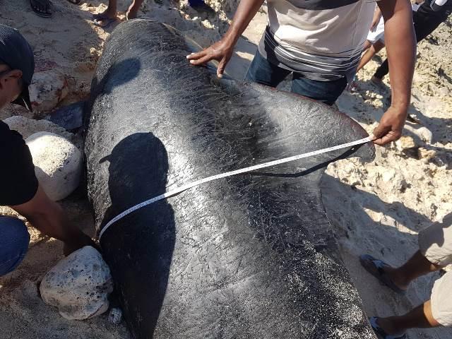 Didahului Upacara Adat, 10 Paus Pilot yang Terdampar di Perairan NTT Dikuburkan