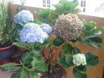 Kembangnya Menawan, Begini Cara Menanam dan Merawat Bunga Masamba!