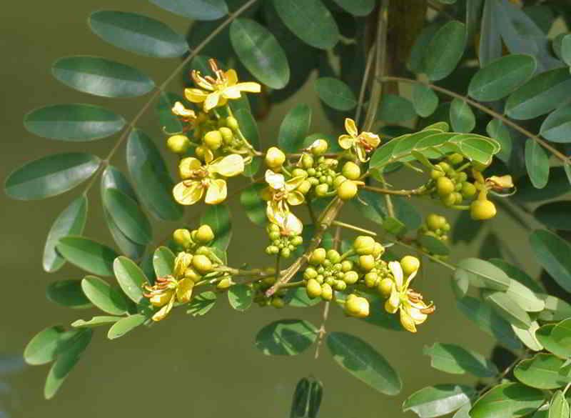 Pohon Johar, Peneduh berbunga Kuning dan Ragam Manfaatnya Bagi Kesehatan