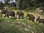 Sisca dan Wahid, Beri Kado Indah di Hari Gajah Sedunia dan HUT RI ke 75
