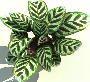 calathea-makoyana/bunga kalatea