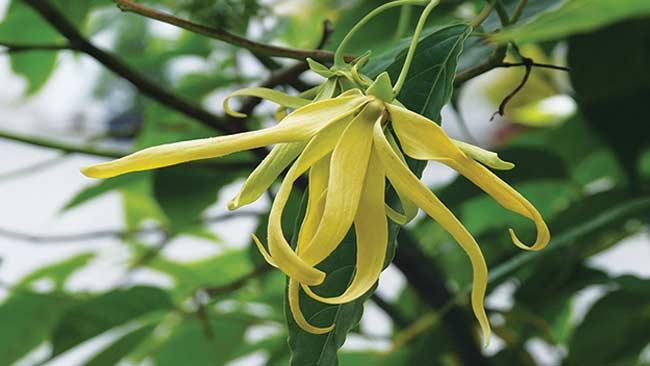 5 Bunga Penghasil Minyak Atsiri yang Wangi dan Bikin Rileks