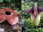 Apakah Sama Antara Rafflesia Arnoldii dan Bunga Bangkai