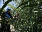 Bagi Perempuan Yordania, Daun dan Sisa Tanaman Bisa Menjelma Kertas