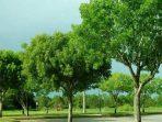 Pohon Tanjung, Pohon Serba Guna yang Cocok untuk Taman Kota