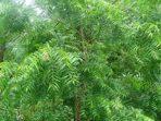 7 Fakta Pohon Mimba yang Diadopsi Puteri Indonesia Lingkungan 2020