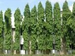 Tangguh Diterjang Angin, Pohon Glodokan Cocok Jadi Peneduh Jalan