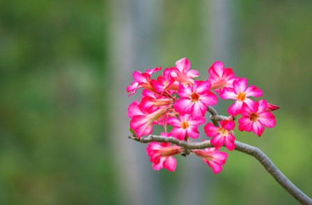 Pink flower or Adenium background blurry green leaves.