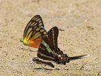 Graphium Rhesus, Kupu-Kupu Indah yang Elegan Memanjakan Mata