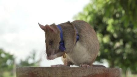 Kisah Seekor Tikus Bergelut dengan Maut Demi Selamatkan Nyawa Manusia