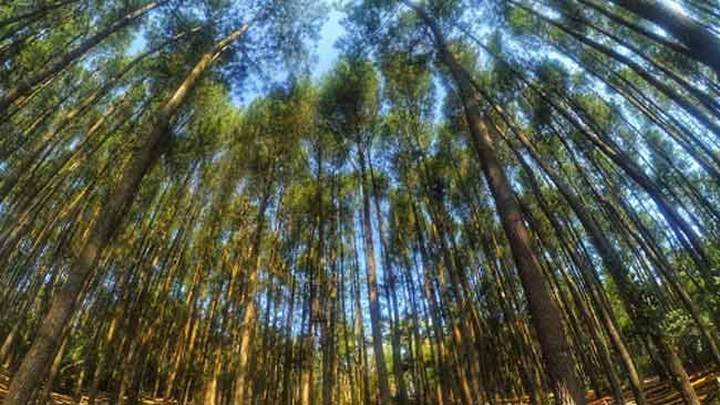 Pohon Pinus, Tanaman Pionir yang Kontroversi