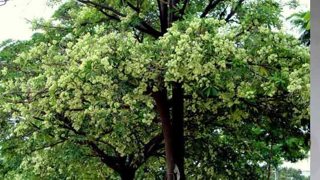 Pohon Pule, Pohon Keramat dengan Sejuta Manfaat Bagi Kesehatan