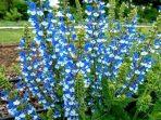 Salvia, Tanaman Hias dengan Bentuk Bunga Unik dengan Warna Mencolok