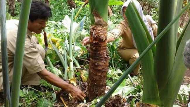 Talas Beneng, Tanaman Liar Pendongkrak Pendapatan Petani