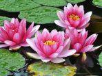 Kaya Manfaat, Bunga Teratai Bisa Diolah Jadi Makanan