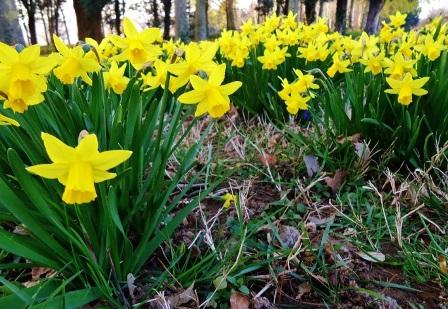 tanaman daffodil