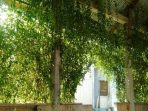 Tanaman Lee Kwan Yew, Dekorasi Alami dengan Aksentuasi Hijau Daun