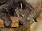 Binturong, Musang Besar yang Mirip Kucing dan 5 Fakta Unik Tentangnya