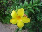 Bunga Alamanda, Tak Hanya Cantik Menawan, Manfaatnya Mencengangkan!