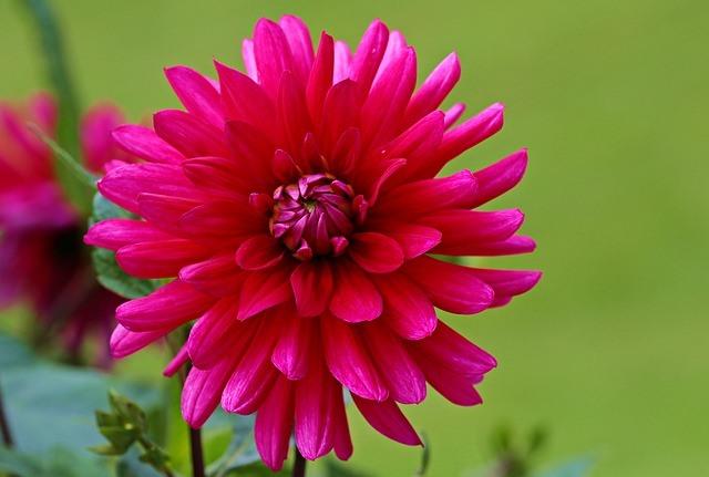 Cara Menanam dan Merawat Bunga Dahlia agar Tumbuh Cetar Mempesona
