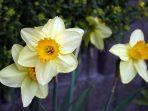 Daffodil, Bunga Hias Sarat Simbolis yang Tebar Banyak Manfaat