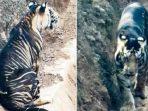 Harimau hitam yang kembali dari kepunahan