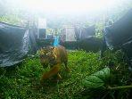 Penuh Haru, Sepasang Harimau Sumatera Kembali ke Habitat Alaminya
