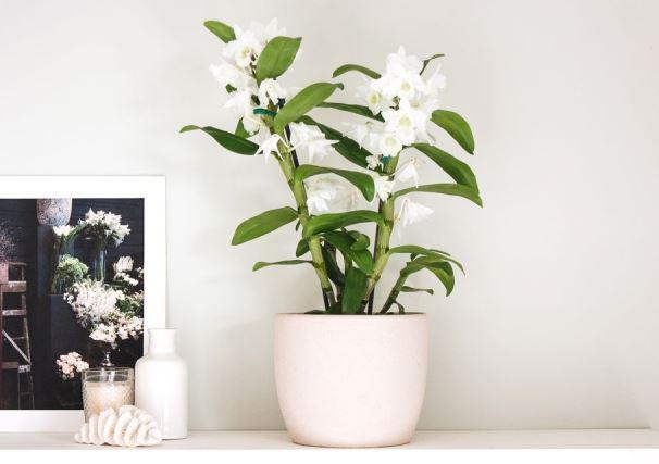 Tips Merawat Anggrek Dendrobium agar Pesonanya Tetap Memancar