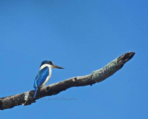 Cekakak sungai, Burung yang Dijuluki Si Pembawa Rejeki