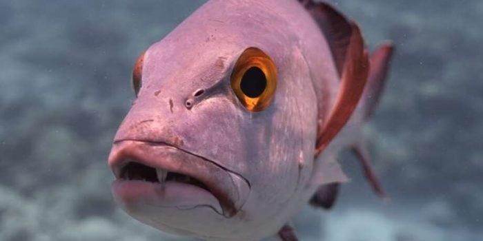 Ditemukan Ikan Kakap Tua Berumur 81 Tahun, Perawakannya Aneh!
