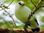 Kabar Baik, Populasi Burung Curik Bali Meningkat di Kawasan TN Bali Barat