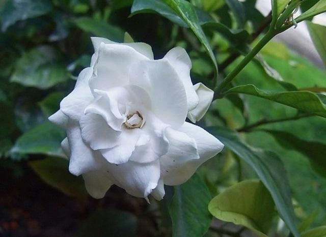 bunga putih kacapiring