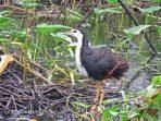 Kareo Padi, Burung Air yang Mulai Langka