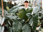 Masalah yang Kerap Melanda Tanaman Philodendron Verrucosum dan Cara Mengatasinya