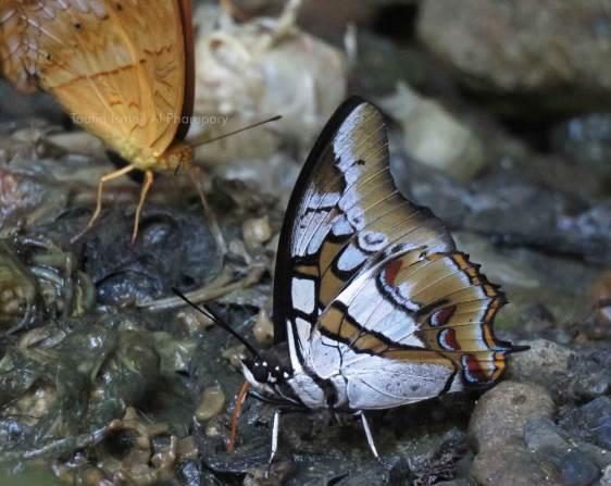 Polyura cognata, Kupu-kupu Menawan dari Sulawesi
