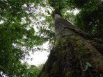 Mengenal Merbau, Kayu Khas Indonesia Berkelas Dunia yang Terancam Punah